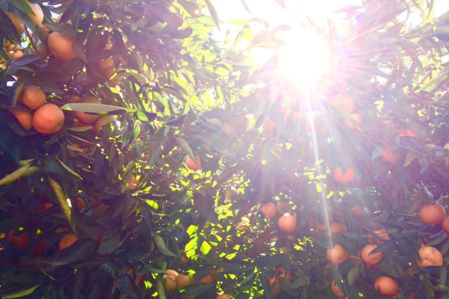 Mandarijn,boomgaard