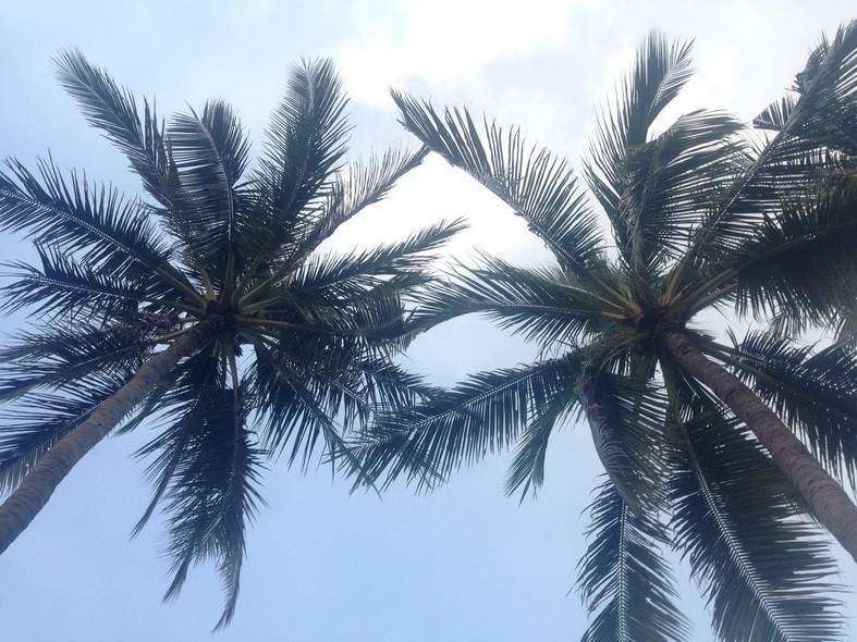palmboom koh phangan